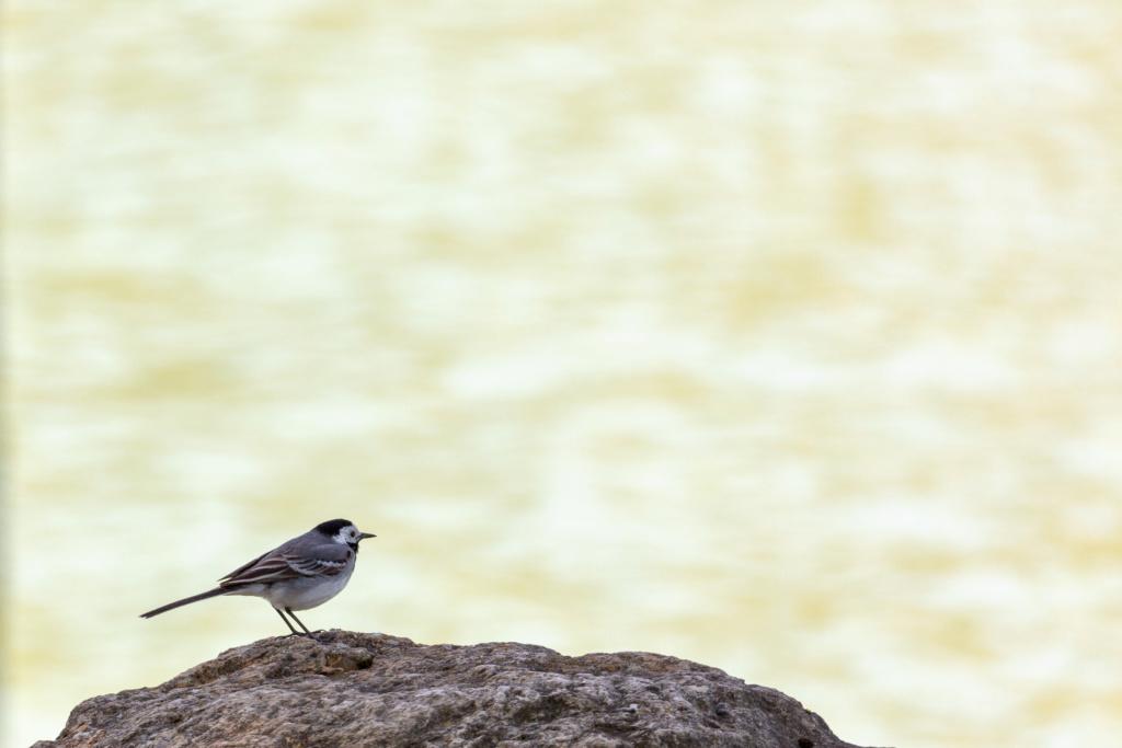 Identifié (Pinson des arbres, grand cormoran, bergeronnette grise) Portfo10