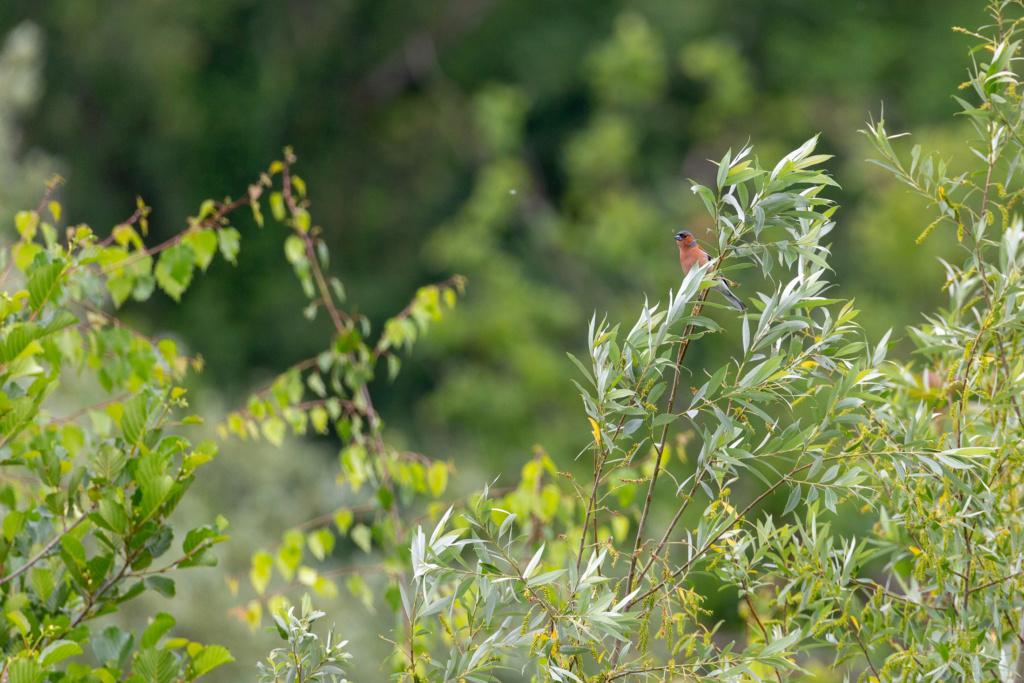 Identifié (Pinson des arbres, grand cormoran, bergeronnette grise) Portfo23