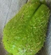 Zucchine con le spine  Zucchi10