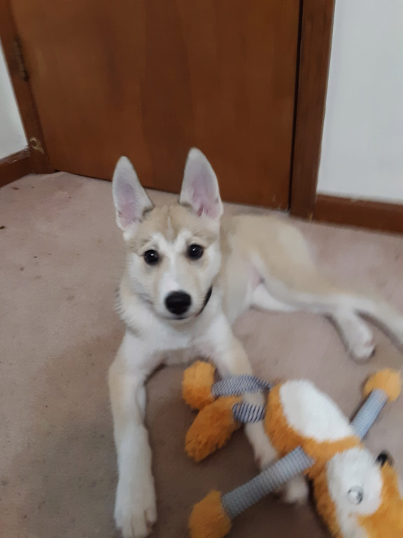 My first husky and people keep telling me she is mixed with something  20190313