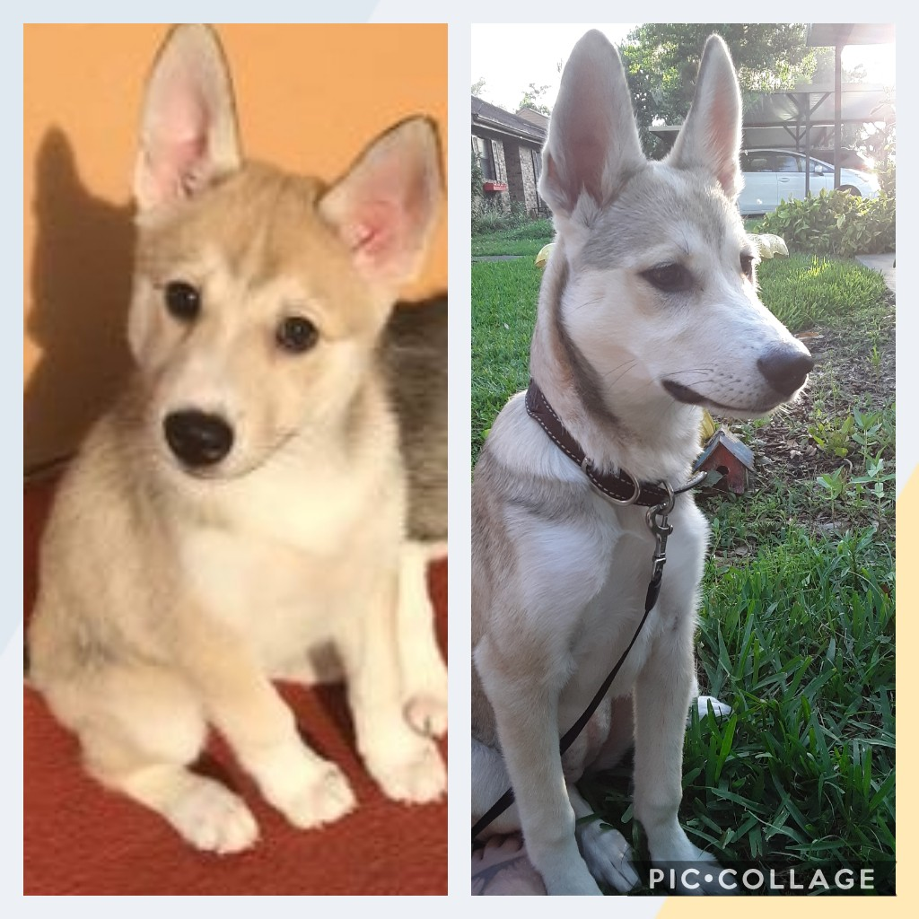 My first husky is getting bigger  Collag11