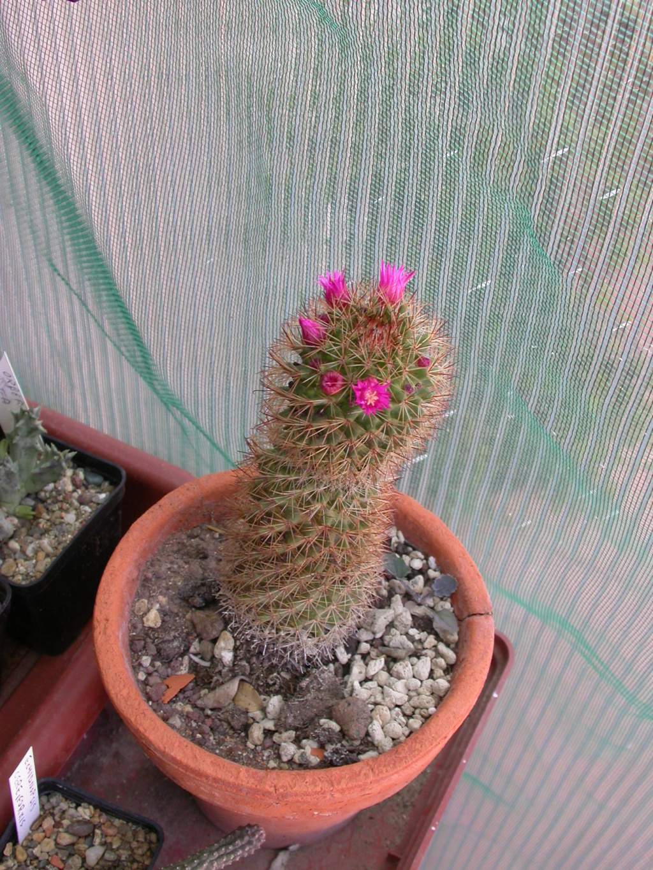 Id. Mammillaria Mammi110