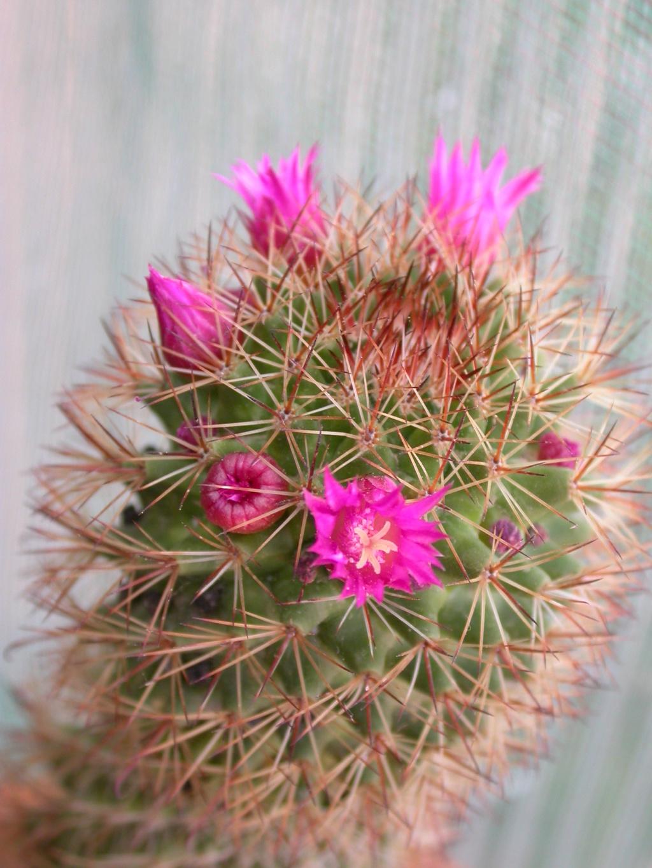 Id. Mammillaria Mammi210