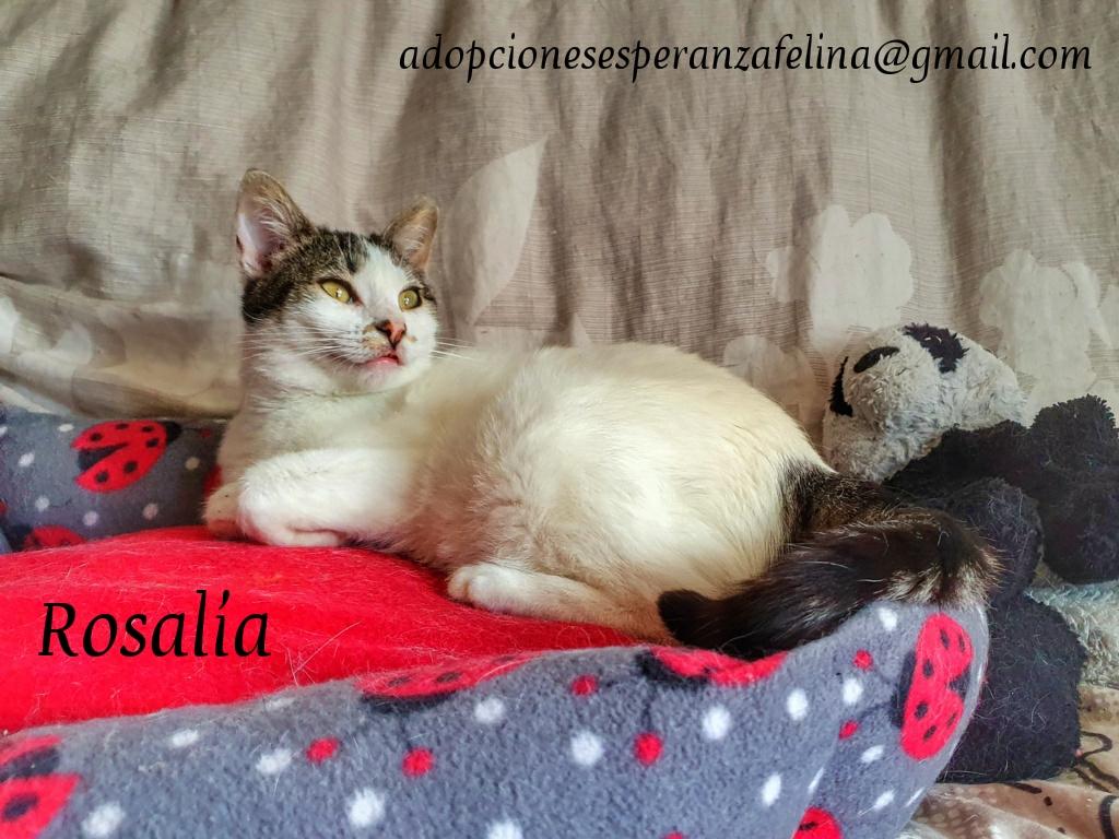 Rosalía, preciosa gatita en adopción. Álava-España (F.N: 01/2017) Photos54