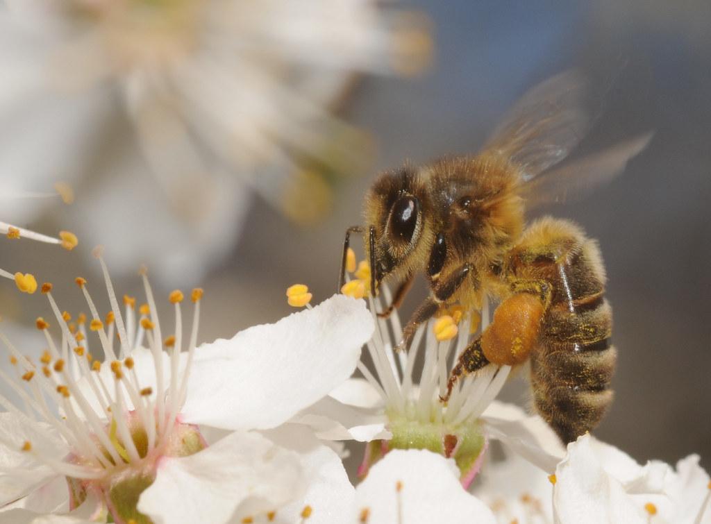 Les abeilles... les abeilles... Abeill10
