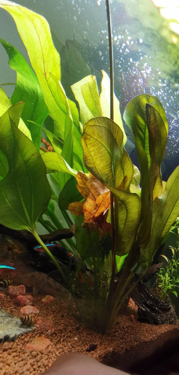 [HELP] Longue tige sur Echinodorus ? Tige_s10