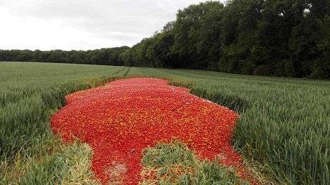 Des tonnes de tomates jetées dans la nature près de Rennes Tomate10