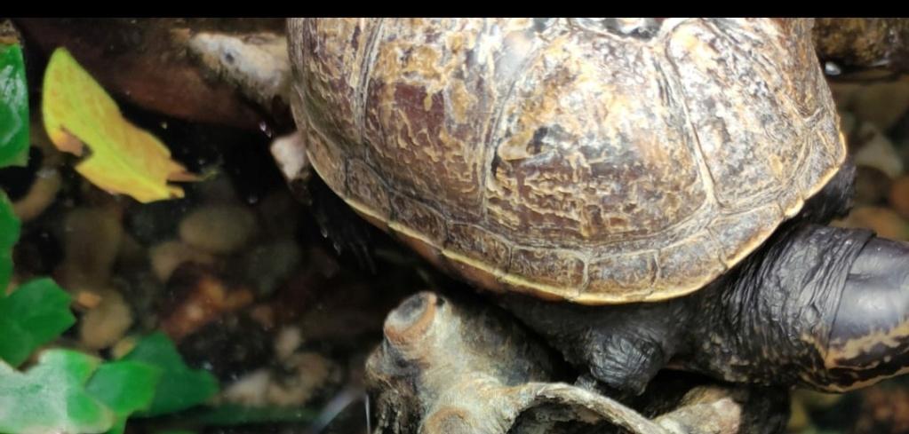 suspicion de mycose tortue aquatique   Cara211