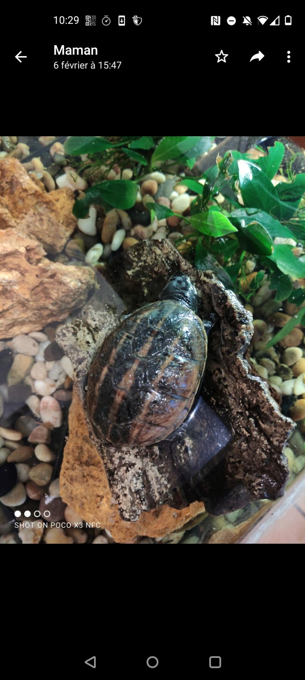 suspicion de mycose tortue aquatique   Cara_111