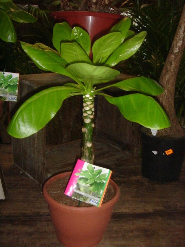 palmier hawaien truffaut