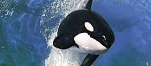 Orca Orca0110