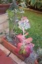 Sedum rubrotinctum Kalanc12