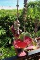 Sedum rubrotinctum Kalanc13