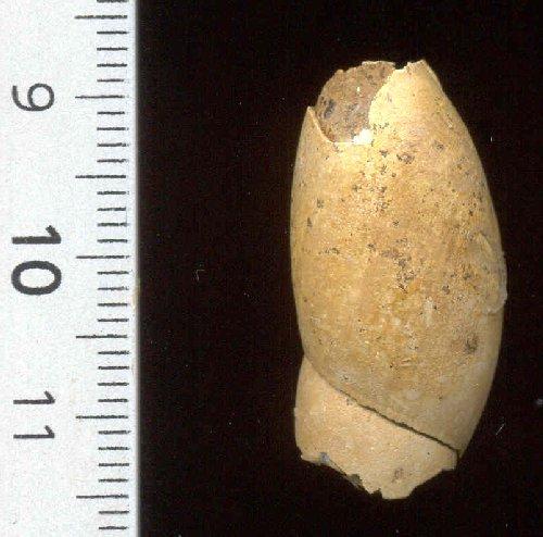 [résolu]Macrophysa sp. Gast_c11