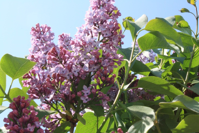 Le lilas Img_0011