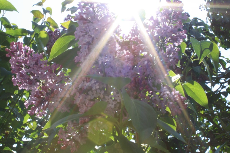 Le lilas Img_0012