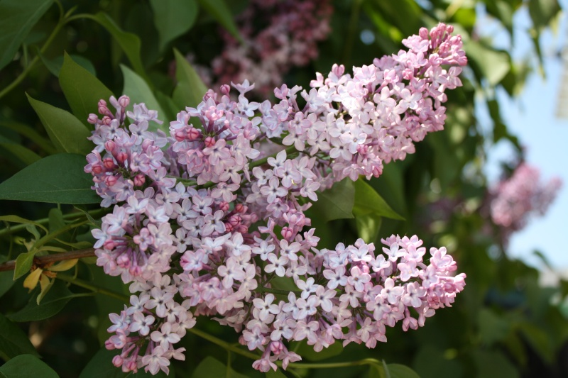 Le lilas Img_0013