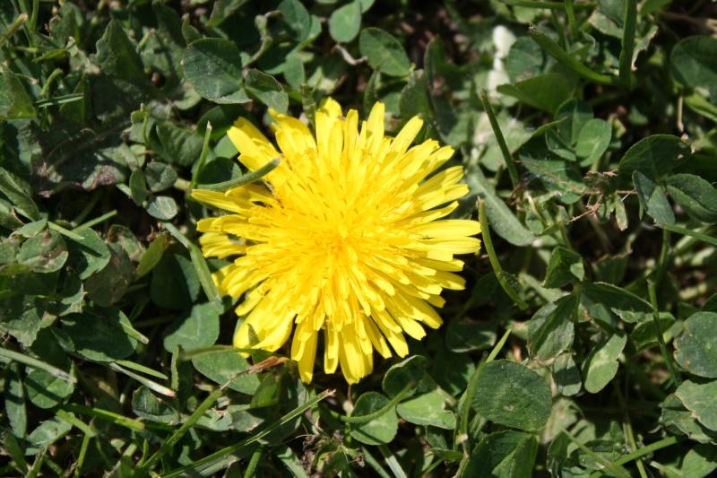 Fleur de pissenlit Img_0014
