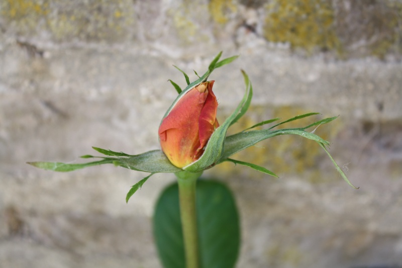 Les roses. - Page 4 Img_0111