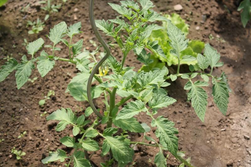 Les tomates du jardin Img_0123