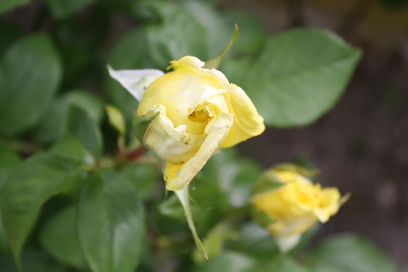 Les roses. - Page 4 Img_0131