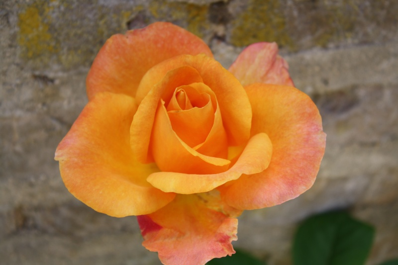 Les roses. - Page 3 Img_0142