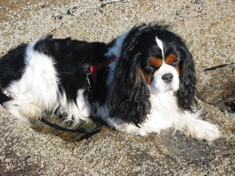 ROMY cavalier king charles mâle 10 ans  Img_0010