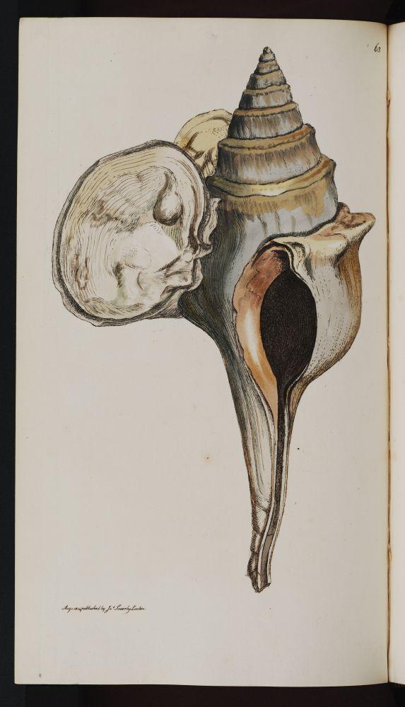 [résolu]Clavilithes scalaris (LAMARCK, 1816) Fusus_10