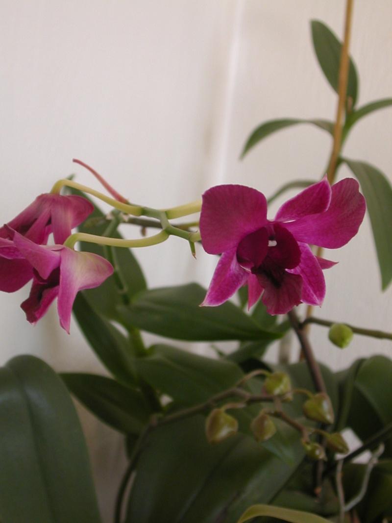 orchidées Fleurs15