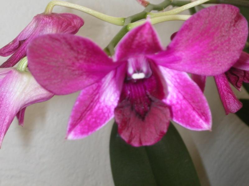 orchidées Fleurs16