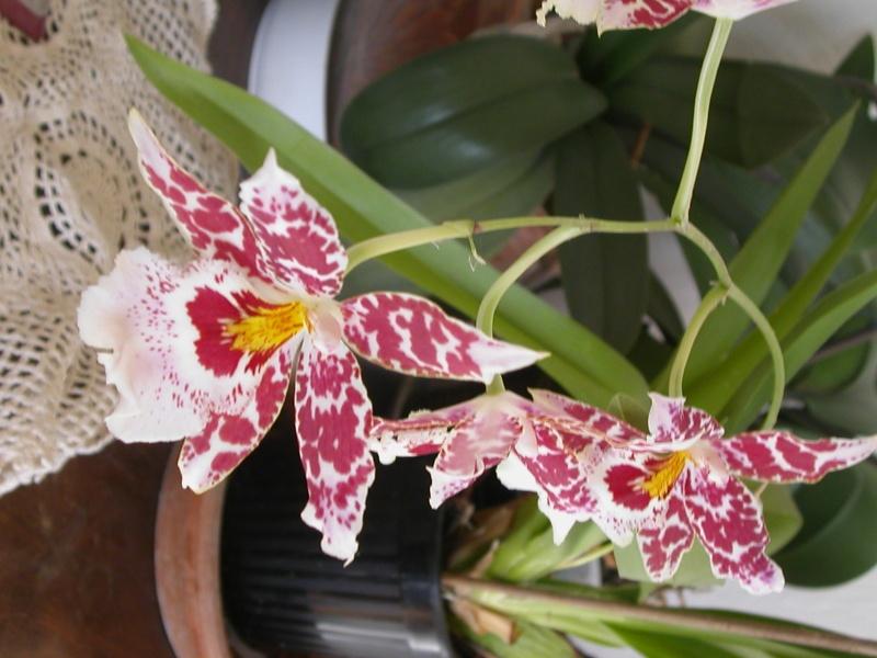 orchidées Fleurs17