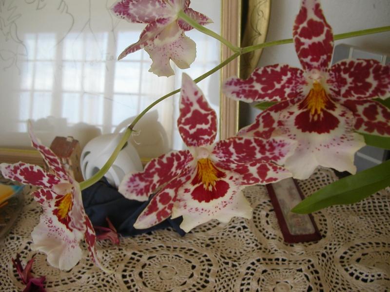 orchidées Fleurs18