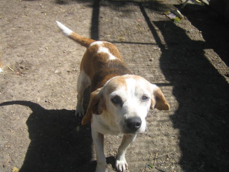 MÉMÉ, beagle femelle, 10 ans (82) Img_0110