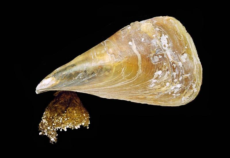Pinna nobilis Photo110
