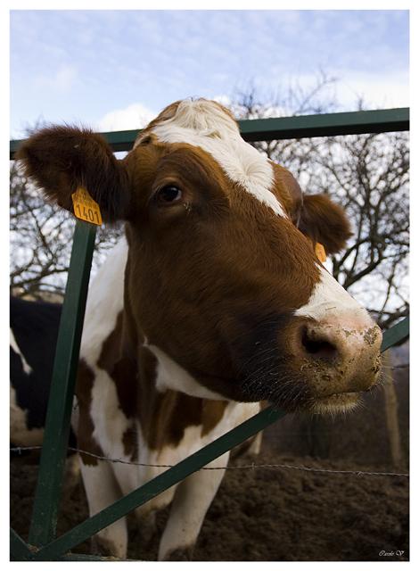 Vache Lyonnaise Vache110