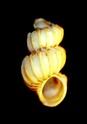 [résolu]Divers Epitoniidae du bordelais 05_leo10
