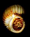 [résolu]Divers Epitoniidae du bordelais Leog-011