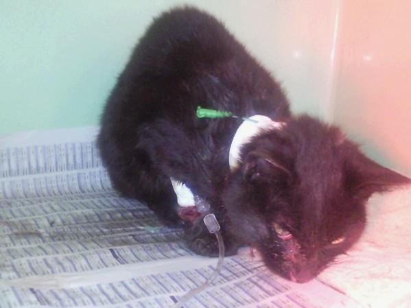 L'histoire d'un chat errant, d'un chat dont peu se soucis...un loulou entre la vie et la mort Loulou11