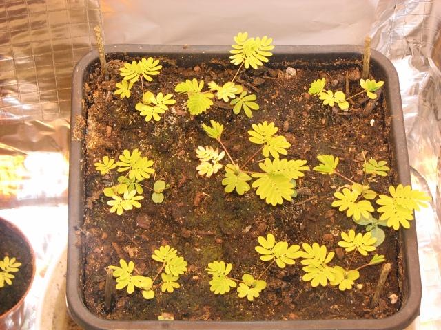 graines de mimosa pudica Img_1711