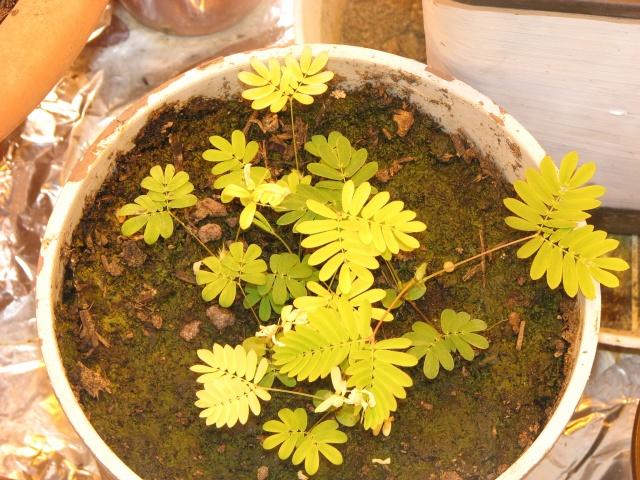 graines de mimosa pudica Img_1712