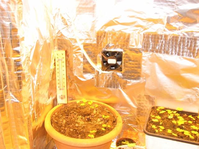 graines de mimosa pudica Img_1715