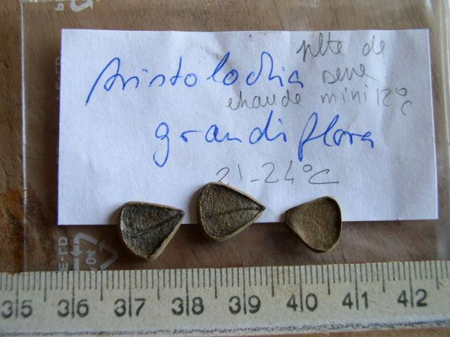 Germination Aristolochia grandiflora ? Aristo10
