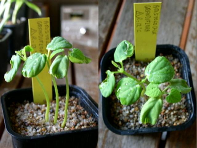 Germination Aristolochia grandiflora ? Aristo11