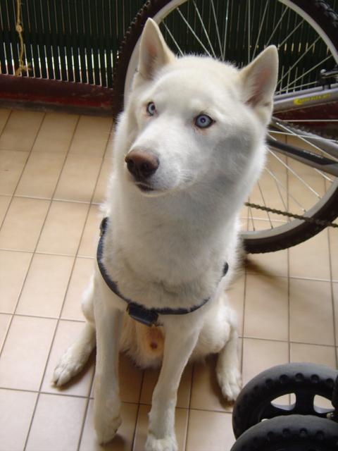 NEMO, gentil mâle husky blanc qui adore les enfants - Page 2 Dsc01410