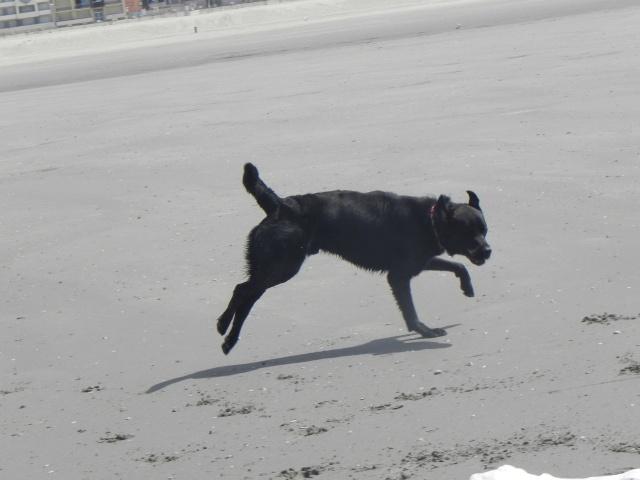 Tango, Croisé Labrador noir de 2 ans (castré) Dscn1711