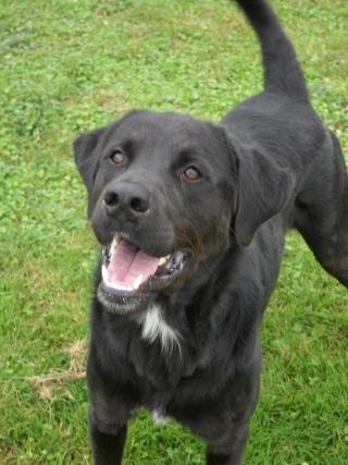 Tango, Croisé Labrador noir de 2 ans (castré) Sam_0821