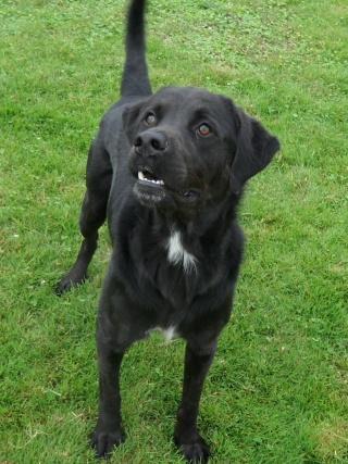 Tango, Croisé Labrador noir de 2 ans (castré) Sam_0822