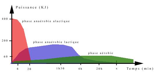 Le métabolisme Graphi10