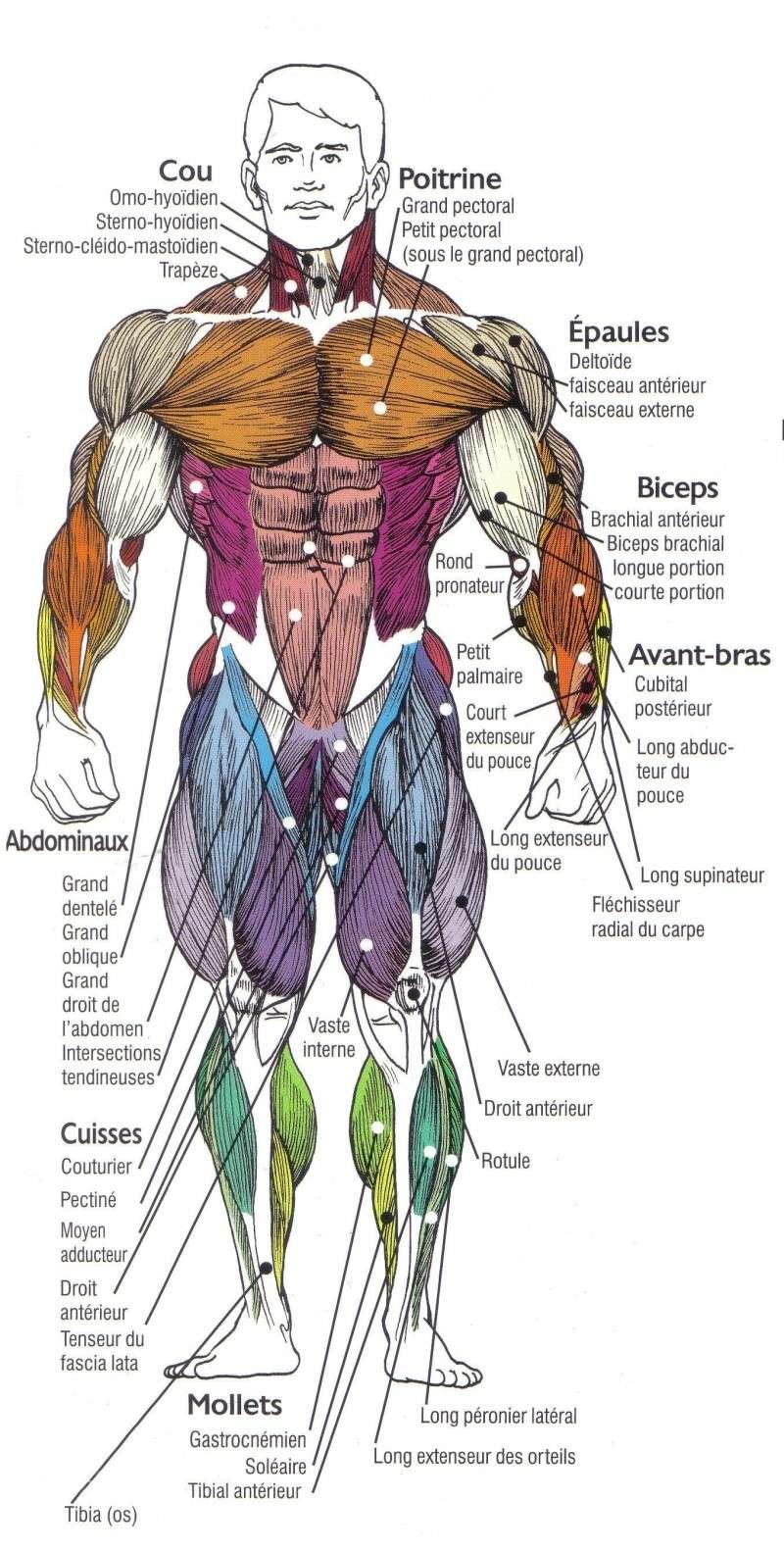 La myologie Muscle10