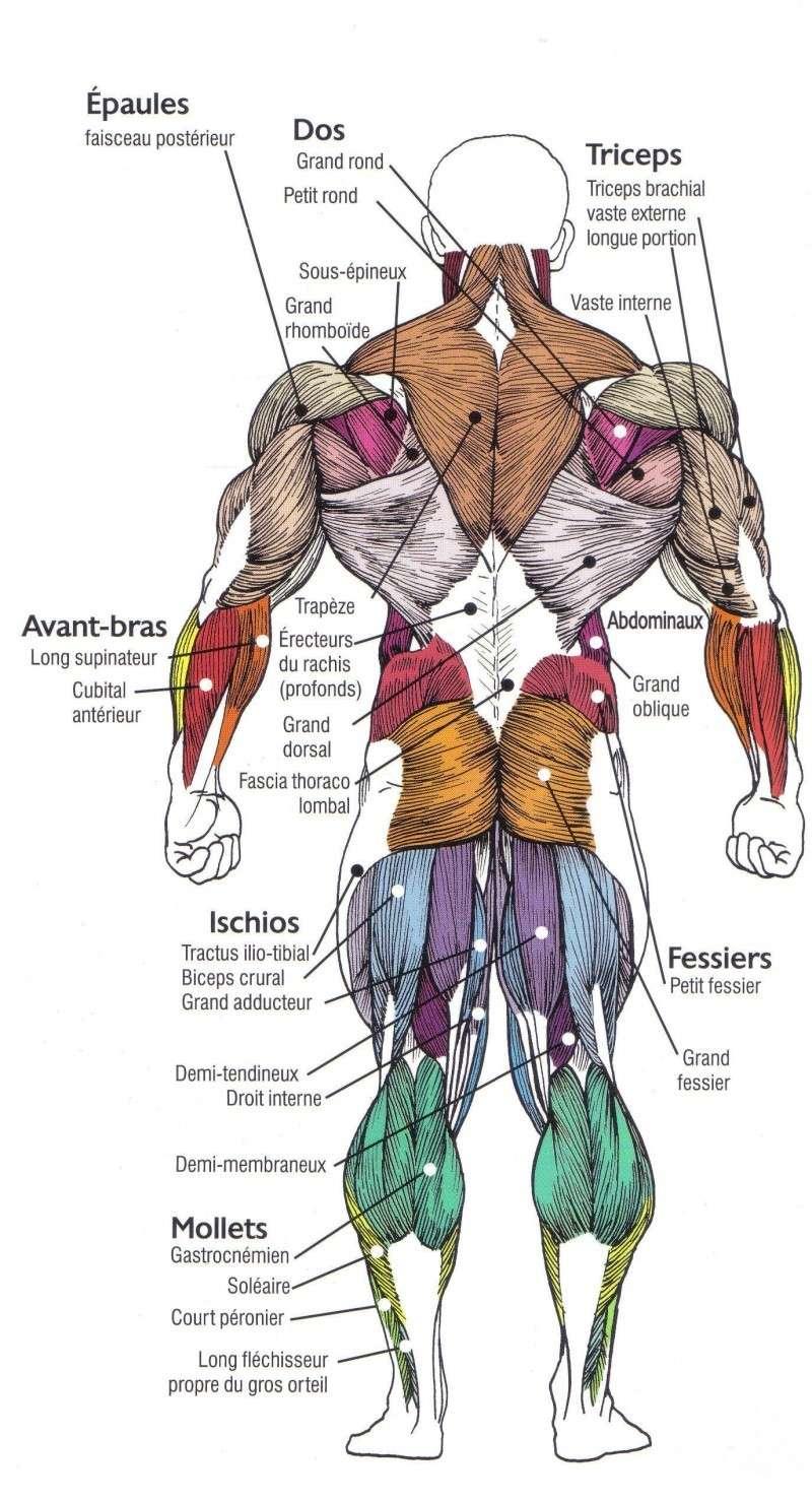 La myologie Muscle11